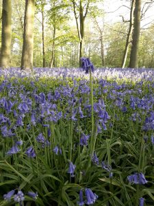 Bluebells in the forest at dawn